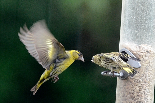 siskins beak to brak