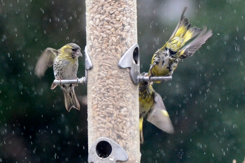 siskins in rain 1