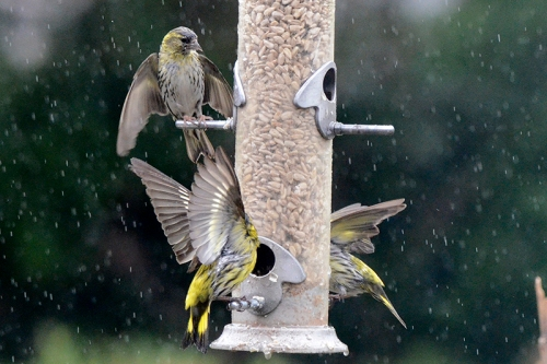 siskins in rain 2