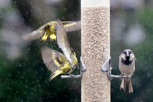 siskins in rain 3