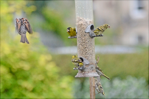 siskins keeping eye out