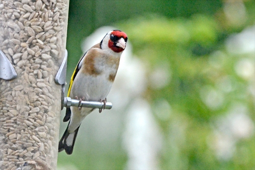 slanted goldfinch