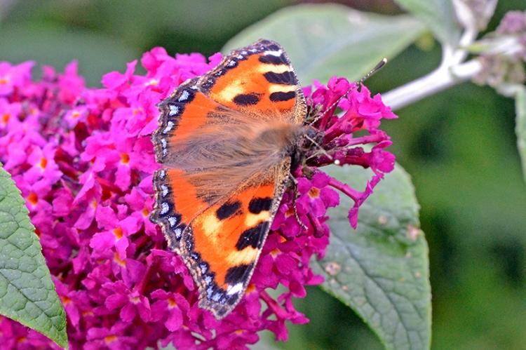 small tortoiseshell butterfly 2`