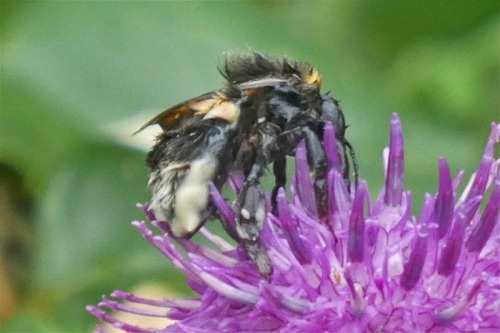 soggy bee on knapweed