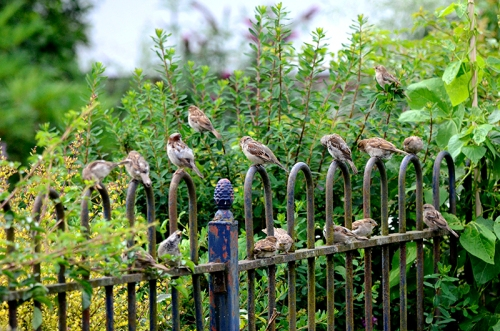 sparrow horde on gfence