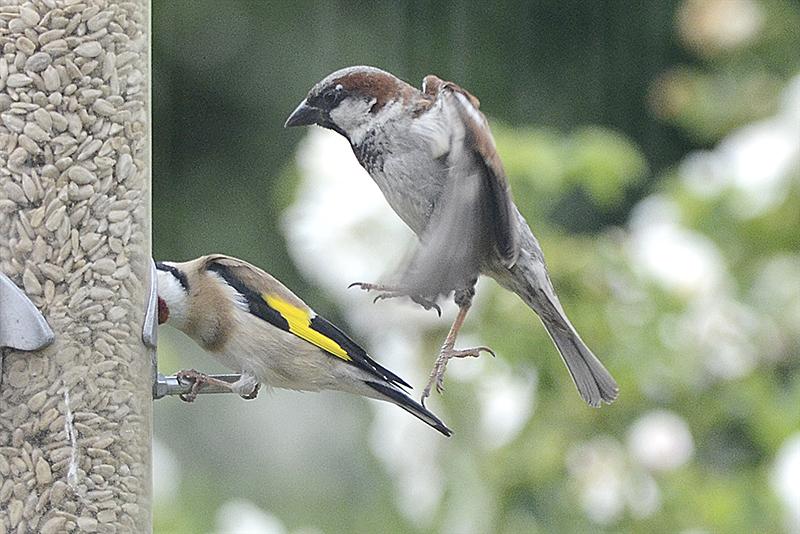 sparrow kicking goldfinch