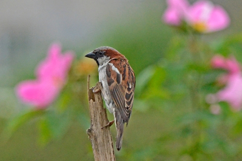 sparrow on stalk