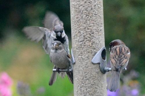 sparrow raid 2