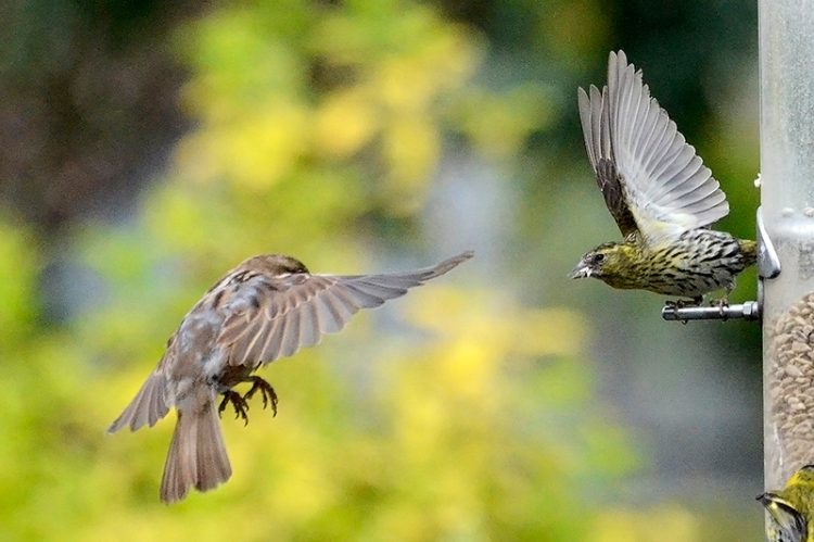 sparrow shouted at by siskin
