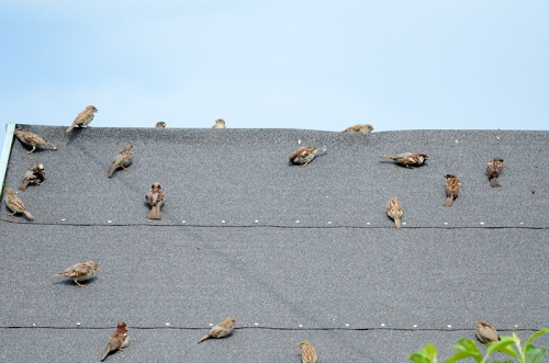 sparrows on Betty's roof