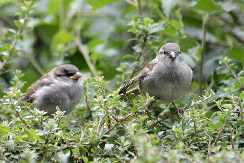 sparrows sue