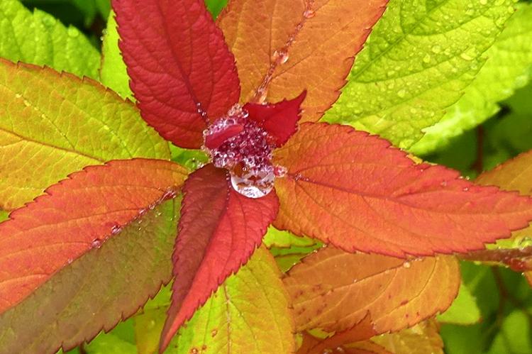 spirea with raindrop