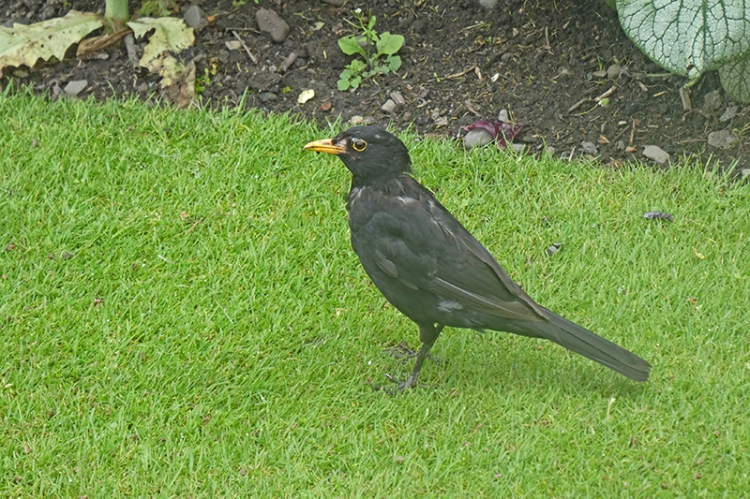 spotty blackbird