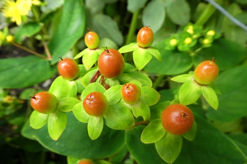 st johns wort berries