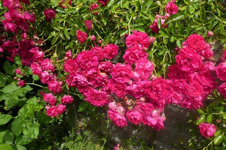 swathe of rambler rose