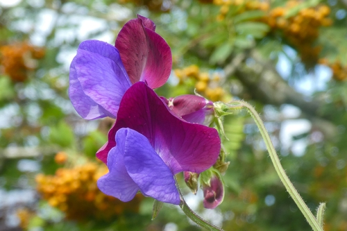 sweet pea in garden