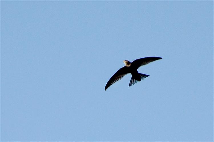 swift in flight