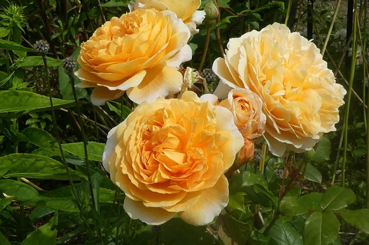 three margareta roses