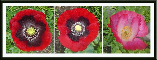 three new poppies