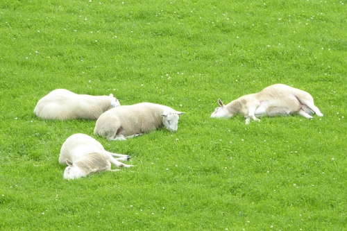 tired sheep