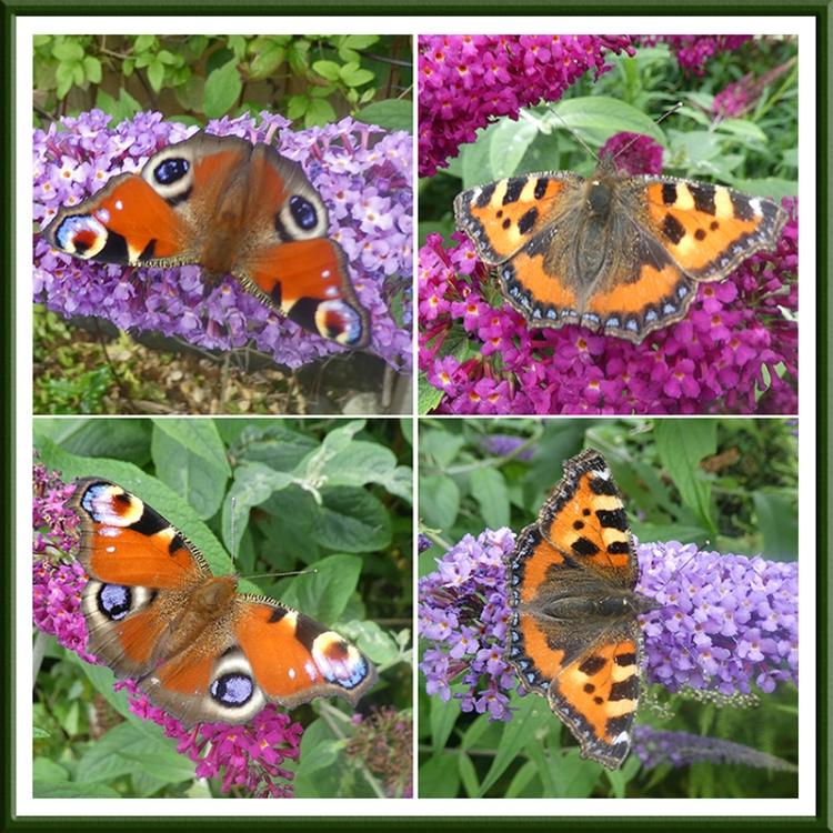 tortoiseshell and peacock butterflies