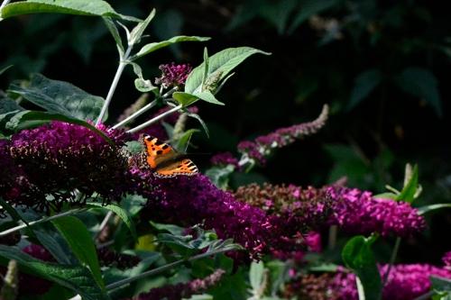tortoiseshell buttefly on red buddleia