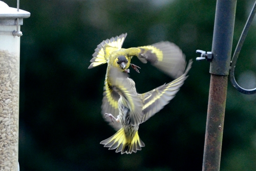 two balletic siskins
