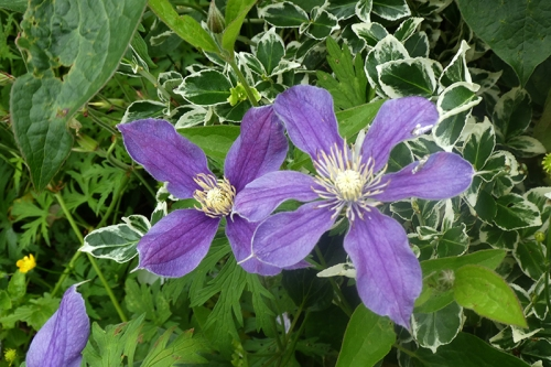 two clematis with differnet petals