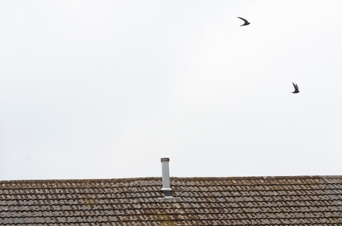 two swifts
