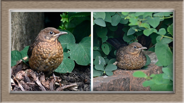 two young blackbirds