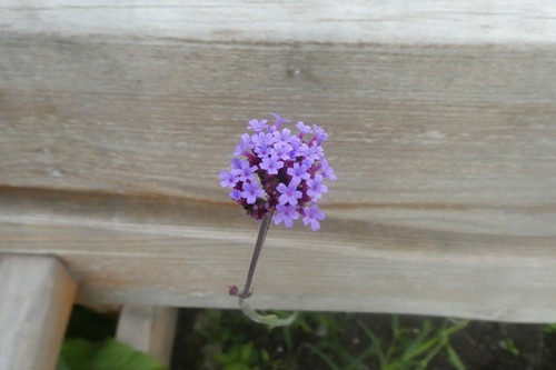 verbena and bench