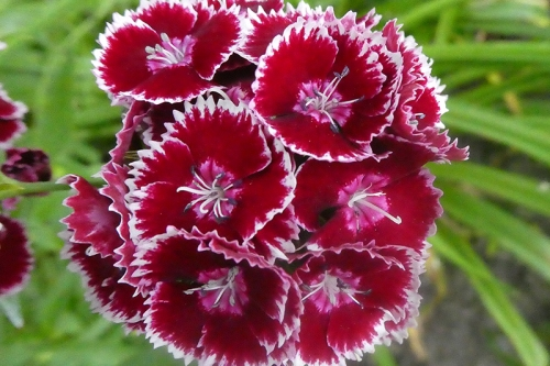 vivid sweet william