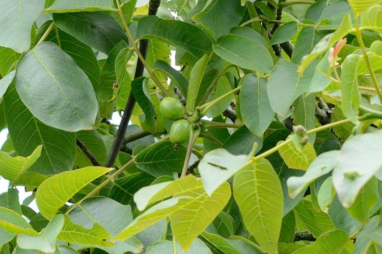 walnuts July