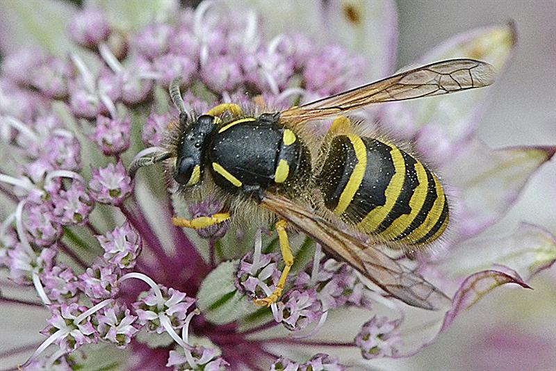 wasp on astrantia