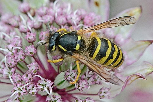 wasp on astrantia