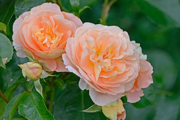 wren rose
