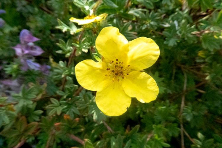 yellow potemtilla