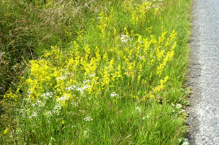yeloow bedstraw by road