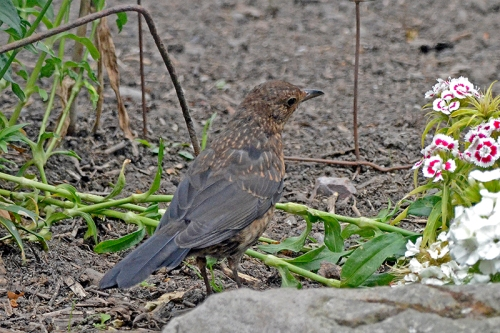 young blackbird