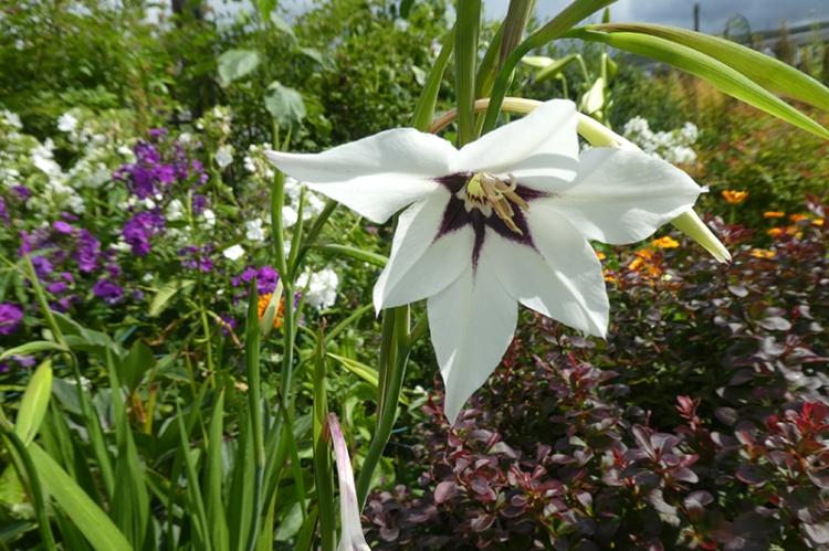 abyssinian gladiolus