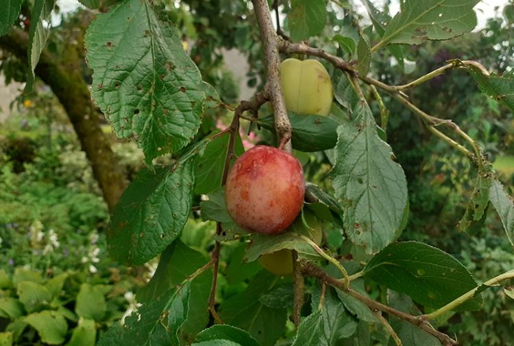 ally's plum