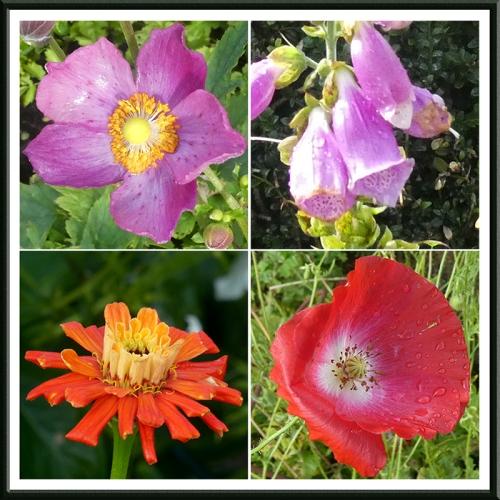 anemone, foxglove, zinnia, poppy
