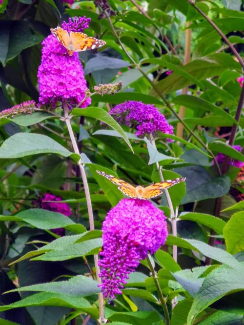 ant's butterflies