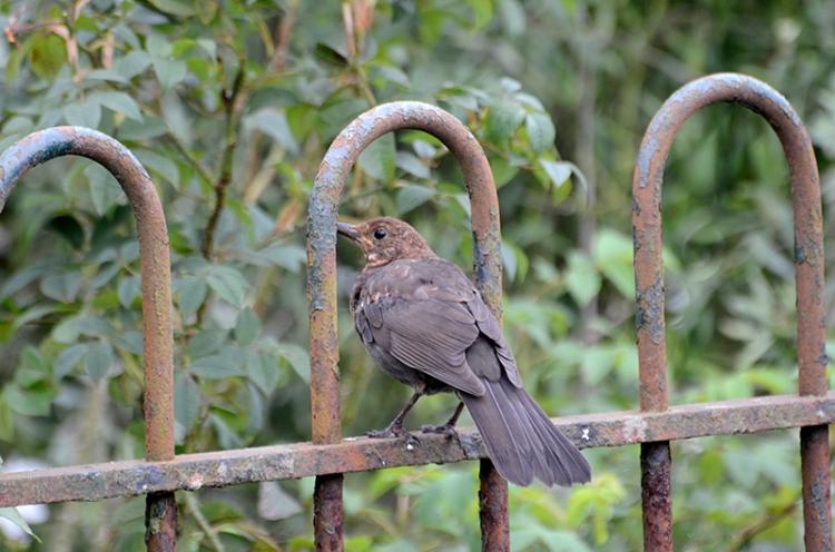 balackbird on fence hoop