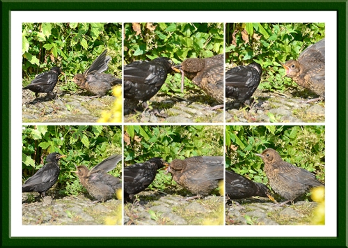 blackbird feeding young