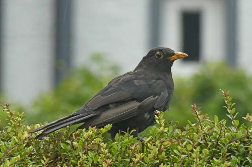 balckbird om hedge