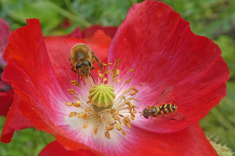 bee and hoverfly on poppy