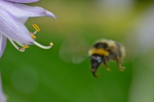 bee approaching hosta
