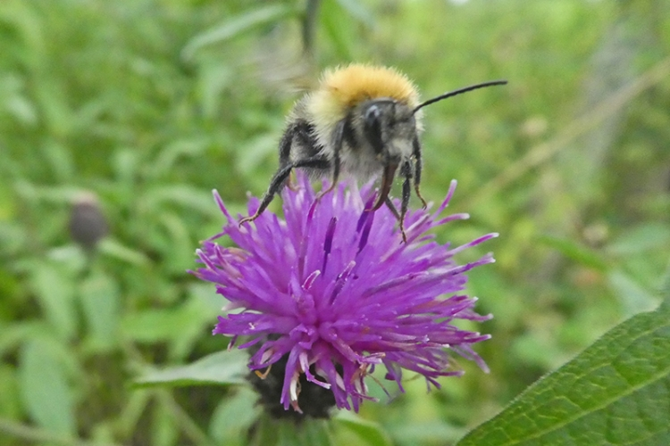 bee on knapwed