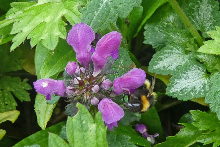 bee on lamium